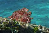 """Если присмотреться- виден глаз: чуть влево от основания """"удочки"""".  Через мгновение Рыба опустилась ко дну, на глубину 5- 6 метров и слилась по цвету и фактуре с окружающим ландшафтом- не найти!  Таитийская Бородавчатая Рыба-Клоун , Красное море  И всё- таки ЛенсАрт """"крадет"""" четкость изображения((( https://content-27.foto.my.mail.ru/mail/mvmil56/11434/b-11785.jpg (для сравнения)"""