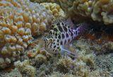Размер Рыбки около пяти сантиметров.Пятнистый Кудрепёр, Красное море