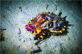 редкая животинка-огненная каракатица, менее 10см