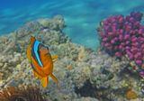 Амфиприон, Красное море
