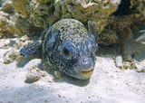 Размер Рыбки около 15 сантиметров. Вот здесь поближе можно рассмотреть: https://content-20.foto.my.mail.ru/mail/mvmil56/11878/b-11917.jpg  Масковый Аротрон, Красное море