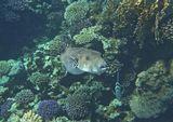 Размер Аротрона около метра. Снято на глубине пяти метров. Полиповая Рыба- Бабочка (слева и под Аротроном),  Абудефдуф Обыкновенный (справа вниз от Аротрона)  Звездчатый Аротрон, Красное море
