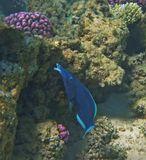 Лазоревый Клюворыл с раковиной в клюве. Красное море
