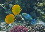 Масковая Рыба- Бабочка, Рыба- Попугай, Полосатый Ктенохет (черная рыбка)  Красное море