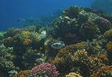Поциллопоровые Кораллы, Спинорог Пикассо, Масковый Аротрон  Красное море