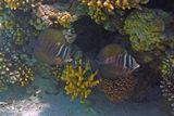 Зебрасома- Парусник, Красное море