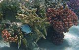 Индийская Рыба- Ласточка, Красное море