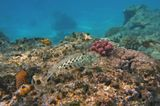 Размер рыбки около 20 сантиметров.  Пятнистый Песочник, Красное море