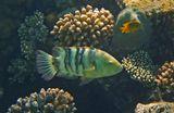 Размер Рыбки около полуметра.  Перистохвостый Хейлин, Красное море