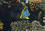 Размер Рыбки около 15 сантиметров.  Черноспинная Рыба- Бабочка, Красное море