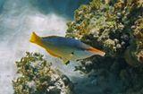Лазоревый Клюворыл, Красное море