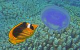Полосатая Рыба- Бабочка, Ушастая Медуза  Красное море
