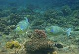 Размер Рыбы около полуметра  Рыба- Носорог, Красное море