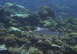 Размер Рыбы около метра, снято на глубине четырех метров.  Луциан Бохар, Красное море
