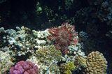 Здесь, при желании, можно рассмотреть поближе: https://content-17.foto.my.mail.ru/mail/mvmil56/11878/b-12217.jpg https://content-6.foto.my.mail.ru/mail/mvmil56/11878/b-12219.jpg  Морская Звезда Терновый Венец, Красное море