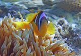 Размер Рыбки около 10 сантиметров. Снято на глубине трех метров.  Амфиприон в Актинии, Красное море