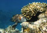 Размер Рыбки около двадцати сантиметров.  Полосатый Ктенохет, Красное море
