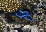 Моллюски поражают разнообразием цветовой гаммы: https://content-8.foto.my.mail.ru/mail/mvmil56/11878/b-12297.jpg https://content-4.foto.my.mail.ru/mail/mvmil56/11878/b-12273.jpg  Тридакна, Красное море