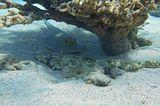 """Скат- Хвостокол и Рыба- Крокодил лежали рядышком в тени Коралла- впервые наблюдала подобное """"Необычное Содружество""""   Скат- Хвостокол, Рыба- Крокодил Красное море"""