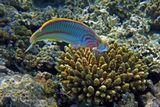 Талассома Клунцингера, Коралл Акропора, Красное море