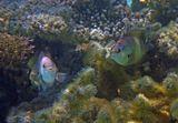 """Тёмный Стегастес (Рыба- Ласточка) называют """"Рыба- фермер"""", потому что она культивирует водоросли на мертвых кораллах, удаляя нежелательные виды и способствует росту нужных. Очень драчливые, территориальные стайки, могут даже кусать дайверов. Обитает на рифовых плато, в бухтах, лагунах 0,3- 10 метров.  Тёмный Стегастес, Красное море"""