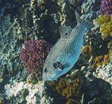 Размер Аротрона около полуметра. Уходит на глубину вдоль Коралловой Стены.  Звёздчатый Аротрон, Красное море