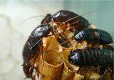 Таракан черный(лат. Blatta orientalis)...