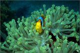 Красное море.Amphiprion bicunctus