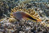 Размер Рыбки около 20 сантиметров. Снято на глубине трех метров.  Кудрепёр Форстера, Красное море