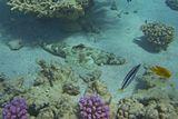 Чешуеядный Синеполосый Плагиотрем (рыба- Собачка) почти всегда прячется в известковых  трубках червей или в других отверстиях, откуда нападает на проплывающих Рыб, так как питается Плагиотрем их кожей, слизью и иногда чешуей.  Посчастливилось увидеть Чешуеядного во всей красе да еще рядом с Рыбой- Крокодилом )  Рыба Крокодил, Чешуеядный Синеполосый Плагиотрем, Красное море