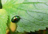 Листоед ясноточный (лат. Chrysolina fastuosa).