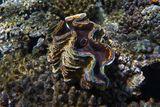 Тридакна, Красное море