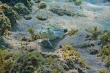Размер Рыбки около 20 сантиметров. Снято на глубине трех метров.  Пятнистый Песочник, Красное море