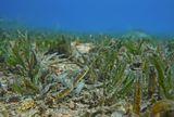 На глубине четырех метров, среди колеблющейся травы Двуконечная Морская Игла едва заметна. Размер около 20 сантиметров.  Двуконечная Морская Игла, Красное море