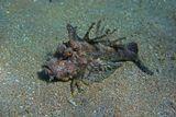 На глубине около трех метров Нитепёрая Бородавчатка медленно,  переваливаясь с боку на бок ползла на зеленых когтях по дну. Почувствовав опасность (приближающегося фотографа), зарылась в песке)  Нитепёрая Бородавчатка, Красное море