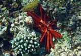 Грифельный Морской Ёж, Красное море
