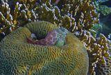 Короткая Экзалия (Рыба- Собачка), размер около 10 сантиметров,  Коралл Мозговик, Огненные Кораллы, Красное море