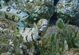 Глубина около пяти метров.  Снежная Мурена, Красное море
