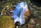 Здесь глазки Моллюска можно рассмотреть получше: https://content-27.foto.my.mail.ru/mail/mvmil56/12591/b-12823.jpg  Лямбис, Красное море