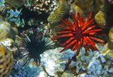 Грифельный Морской Ёж (красный), Ёж Эхинотрикс- Диадема (черный)  Красное море