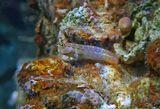"""Размер Рыбы- Собачки около пяти сантиметров. (При загрузке фотографии четкость, к сожалению, """"уходит"""": https://content-17.foto.my.mail.ru/mail/mvmil56/12591/b-12884.jpg)  Красноморский Гребнезубый Эксен, Красное море"""