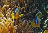 Размер Рыбок около семи сантиметров.  Амфиприон, Энтакмея Четырехцветная (Актиния), Красное море.