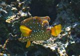 Размер Рыбки около 10 сантиметров. Снято на глубине четырех метров.  Жемчужный Кузовок- Кубик, Красное море