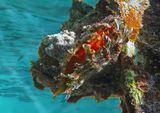 Пишут, что эти Двустворчатые образуют жемчужины ювелирного качества!  Пинктада Жемчужная, Красная море