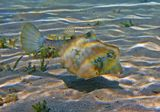 Кузовок охотится на самых мелких беспозвоночных, вымывает их из песка, выпуская изо рта струю воды,  поэтому его рот слегка вытянут в виде трубочки. Размер этой Рыбки не более 15-ти сантиметров.  Снято на глубине около трех метров.  Горбатый Кузовок, Красное море