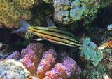 Пятилинейный Хилодиптер, Поциллопора Бородавчатая (Розовый Коралл)  Красное море