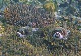 """Масковый Аротрон (Arothron diadematus) относится к отряду """"иглобрюхих"""" рыб. Мясо этих рыб, несмотря на то, что иглобрюхие вырабатывают очень сильный токсин, считается самым дорогим деликатесом на Востоке, где из них готовят блюдо """"фуджи"""". В Японии были зафиксированы смертельные случаи после поедания этого деликатеса.  Масковый Аротрон, Коралл Акропора, Красное море"""