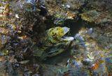 Друзья, обратите внимание на кончик хвоста в середине нижней части фотографии! )  Мурена Снежная, Красное море