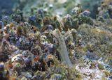 Размер Рыбы- Собачки около пяти сантиметров.   Красноморский Гребнезубый Эксен , Красное море
