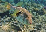 Размер Рыбки около полуметра. Снято на глубине четырех метров.  Колючий Аротрон, Красное море